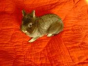 вязка декоративных кроликов(недорого)