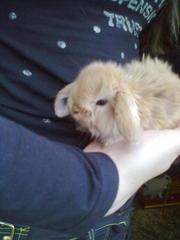 декоративные кролики пород:вислоухие, львиноголовые, ангорские(недорого)