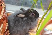 Продам декоративного кролика, недорого