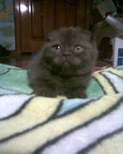 красивые котята породы шотл.вислоухая