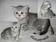 Котята скотиш-страйт