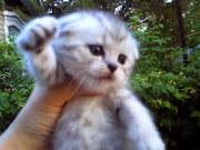 ПРОдам шотландских вислоухих и прямоухих котят