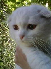 шотландские котята прямоухие и вислоухие