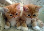 Плюшевые котята Скоттиш Страйт