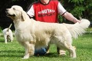 Предлагаем щенков Золотистого ретривера