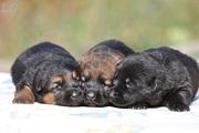 Черные, чепрачные, зонарные щенки немецкой овчарки