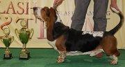 Очаровательные щенки бассет-хаунда ищут добрых и заботливых хозяев