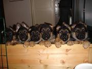 Продаются бомбейские щенки немецких овчарок.