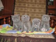 Шотландские голубые вислоухие и прямоухие котята