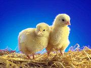 Цыплята,  утята,  гусята,  цыплята бройлеры