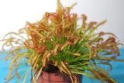 Росянка Капская  растение хищник,  купить
