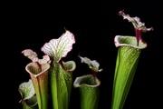 Саррацения растение хищник,  купить,