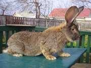 Продам кроликов породы фландер