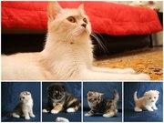Продам милейших шотландских котят(scottish fold и scottish striaght)