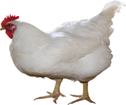 Куплю:кур,  яйцо куринное