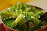 Венерина  растение хищник купить,