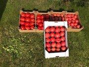 продам Розовый и Желтый тепличный помидор