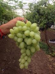 Продам оптом виноград