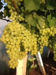 Продам виноград 2 сорт  на переработку. Большие объемы